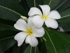 Growing Plumeria: How To Care For Plumeria - Plumeria plants (Plumeria sp), which are also known as Lei flowers and Frangipani, are actually small trees that are native to tropical regions. The flowers of these beautiful plants are used in making traditional Hawaiian leis. They are highly fragrant and bloom freely from spring throughout fall in multiple colors like white, yellow, pink, and red.