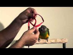 Training Your Pet Parrot Parrot Toys, Cuddle Buddy, Budgies, Parrots, Bird Food, Cuddling, Aviation, Train, Pets