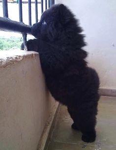 Teddybear husky - so cute