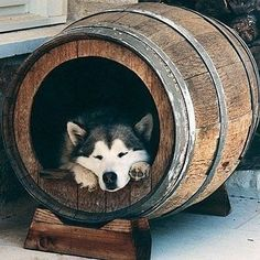 An old barrel upcycled as a dog house for a large dog
