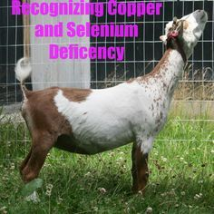 Raising Goats - Recognizing copper and selenium deficiency within your herd and how to treat it