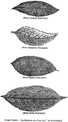 Various types of tea leaves. So within the variation of size that changes quality there are also different types which produce different flavors.