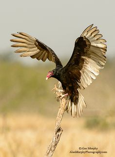 Cathartes aura - sępnik różowogłowy - TURKEY VULTURE This carrion may not be pretty to some, but it plays an important part in cleaning up around these parts.  Visit #Sedona and experience all that is #Arizona. www.sedonavacations.com  See you soon!