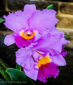 Corsage Orchids @ Lewis Ginter Botanical Garden, Richmond, VA