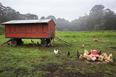 Raising Pastured Poultry: Electronet & Chicken Tractors