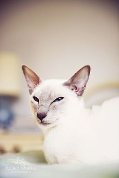 Siamese cat  Lilac Point Siamese cat (Thea)