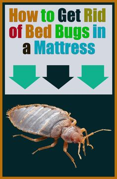 How to Get Rid of Bed Bugs In A Mattress (Effective Methods) Mattress Cleaning, Bed Mattress, Bed Bugs Essential Oils, Bed Bug Remedies, Rid Of Bed Bugs, Bed Bugs Treatment, Bed Bug Bites, Types Of Beds, Clean House