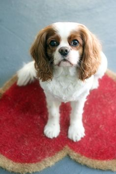 Cavlier King Charles Spaniels are the best!! If I ever got a dog I would get this one