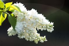 White lilac blossoming