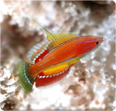 McCorsker's Flasher Wrasse   SO pretty, peaceful, reef safe, beginner