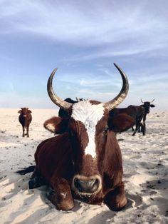 Nguni cattle - A breed unique to South Africa a mixture of Indian and European cattle they're often the life blood of the local communities along the Eastern Coast Of the Transkei.    They also have a special affinity for the beaches. There are more cows per square kilometer than people along this coast line.  https://instagram.com/robotfaced/