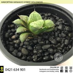 Quality succulents, cacti and houseplants for sale - Adelaide, SA, Australia Succulents For Sale, Hollyhock, Houseplants, Blueberry, Cactus, Beans, Fruit, Vegetables, Food
