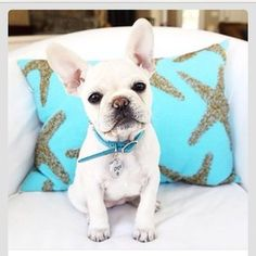 #obsessed#frenchbulldog
