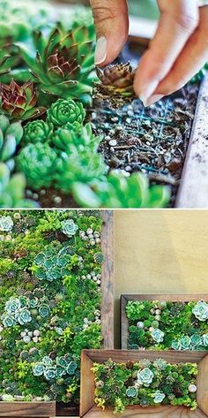 Sedum and Succulent Planters Tips, Ideas and Tutorials! Including, from 'sunset mag', they show us how to make our own living art from succulents.