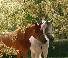 Arabian Horse Arabian Horse Show - Western Competition Egyptian Stallion Breeding PIntabians Beautiful Horse Pictures, Cute Animal Pictures, Beautiful Horses, Majestic Horse, All The Pretty Horses, Clydesdale, Horse Love, Show Horses, Pictures To Draw