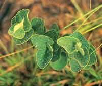 En las sabanas las plantas han desarrollado diferentes estrategias de adaptación para tolerar la sequía, la pobreza de nutrientes y el fuego...