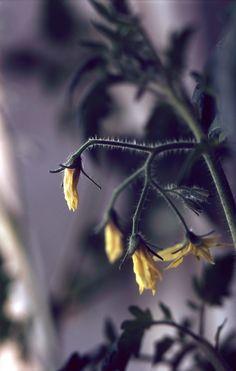 2012 Pentax Spotmatic - Volna-9 heinäk_038 Dandelion, Explore, Flowers, Plants, Animals, Animales, Animaux, Dandelions, Animal