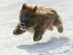 Teddy Bear dog graaaarrrrr - Imgur