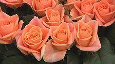 Timo Koskinen Lepaalta neuvoo, miten ruusut säilyvät pitempään. // Timo Koskinen from Lepaa tells how to preserve the roses longer (in Finnish). Rose, Flowers, Plants, Gardening, Pink, Lawn And Garden, Plant, Roses, Royal Icing Flowers