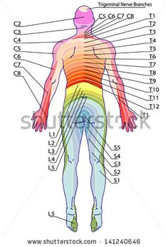 drawing, medical, didactic board of anatomy of human sensory innervation system, dermatomes and cutaneous nerve territories, segmen… Human Body Anatomy, Human Anatomy And Physiology, Muscle Anatomy, Pic Of Human Body, Interventional Radiology, Sports Therapy, Spine Health, Medical Anatomy, Massage Therapy