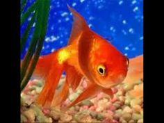 Cuidados de un pez japones o GoldFish