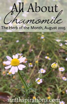 All About Chamomile, The Herb of the Month for August 2015. Chamomile has so many more uses than just for relaxing before bed!