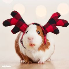 This guinea is ready for the #pawlidays with their plaid reindeer antler headband!