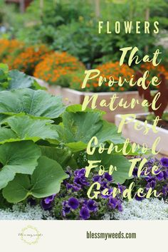 Flowers are a great idea for natural pest control in your garden. Read this post for a list of flowers that fight pests. Growing Lavender, Growing Flowers, Planting Flowers, Gardening For Beginners, Gardening Tips, Container Gardening, Sweet Potato Plant Vine, List Of Flowers, Natural Pesticides