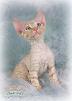 Pretty Cats, Beautiful Cats, Cute Cats, Funny Cats, Devon Rex Kittens, Cats And Kittens, Crazy Cat Lady, Crazy Cats, Teacup Kitten