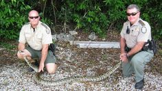 Hunters descend on Florida Everglades to catch giant invasive snakes #animals #snakes #python