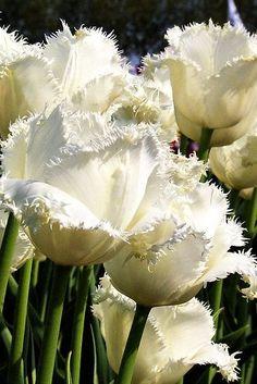 Fringed white Honeymoon tulip by Johan Nijenhuis