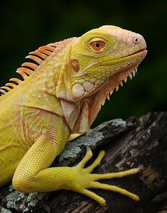 The Gardens of Eden-Photography by Michael D. Kern https://www.thegardensofeden.org/ Albino Green Iguana