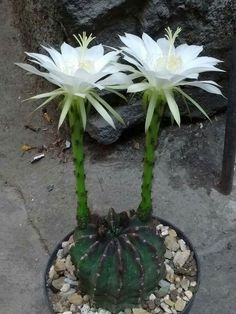 "Echinopsis subdenudata the cultivar with extra white glochids is called ""Domino"". White spots on a blackish green body - perfect name."