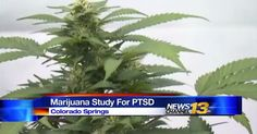"""Drug regulators said it would never happen, but now the DEA has approved the first ever marijuana study for veterans with PTSD."" —KRDO NewsChannel 13"