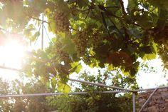 Weintrauben als Schattenspender