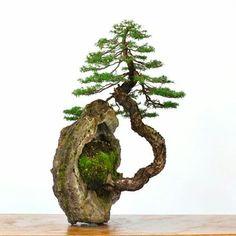 Slanting bonsai jutting out of rock