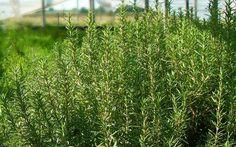 Αν και ξηρική καλλιέργεια, το δενδρολίβανο μπορεί να καλλιεργηθεί και ως ποτιστική καλλιέργεια καθώς δίνει μεγαλύτερη παραγωγή