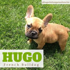 This is the gorgeous Hugo and he is a 5 month old French Bulldog! Sqeeeeeee what a cutie! #instagram #dogs #frenchbulldog