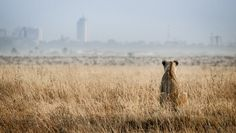 Lioness looking toward city | B&H Wilderness Photo Competition