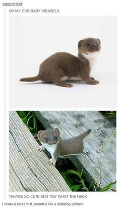 Baby Weasels!
