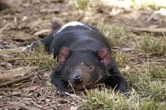 Although Tasmanian devils are nocturnal, they like to rest in the sun. Scarring from fighting is visible next to this devil's left eye.