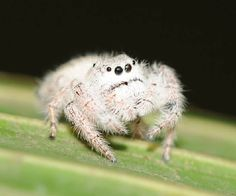 CUTE - WOOLLY JUMPING SPIDER
