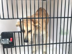 03/18/17- HOUSTON - EXTREMELY URGENT -This DOG - ID#A479688 I am a female, brown and white Labrador Retriever mix. My age is unknown. I have been at the shelter since Mar 17, 2017. This information was refreshed 13 minutes ago and may not represent all of the animals at the Harris County Public Health and Environmental Services.