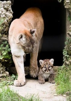 Here you compare Bobcat vs cougar vs mountain lion vs puma. Go further to know comparison, difference and similarity between Bobcat vs cougar vs mountain lion vs puma facts, who will win the fight? Cute Baby Animals, Animals And Pets, Funny Animals, Big Cats, Cute Cats, Cats And Kittens, Pumas Animal, Beautiful Cats, Animals Beautiful