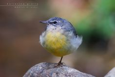 Ballerina gialla  (grey wagtail) by Marco Milanesi on 500px