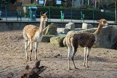 Vicugna - Relative to the Llama, and wild ancestor to the Alpacas
