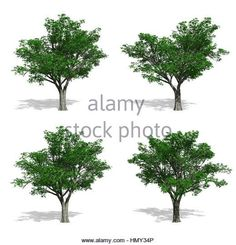 Stock Photo - Elm trees, isolated on white background Elm Tree, Pop Up, Trees, Stock Photos, Illustration, Plants, Popup, Tree Structure, Illustrations