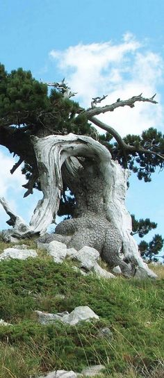 - Pino Loricato - This tree is like a monument as there are only few surviving in the Pollino National Park in Basilicata - Italy Weird Trees, Unique Trees, Old Trees, Tree Trunks, Big Tree, Nature Tree, Tree Forest, Tree Art, Tree Of Life