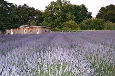 Harmony Lavender Farm, Atascadero Ca.
