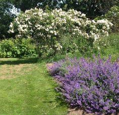 """Klatrerosen Lykkefund (""""Rosa helenae"""") stammer oprindeligt fra Kina. Den har en fin mild duftende blomstring, meget fyldigt blomsterflor med mange små og enkle blomster i store klaser, mange bittesmå orangefarvede hyben frister småfuglene i sensommeren og ser yndigt og dekorativt ud i haven, højde indtil 4 meter er ikke ualmindeligt, og så breder den sig, så plant den med kun 1 stk. pr. m2 - den vil virkelig gerne have plads. Her en rosenhave midt i Skåne."""